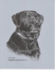 Pet portrait black lab David Zamudio
